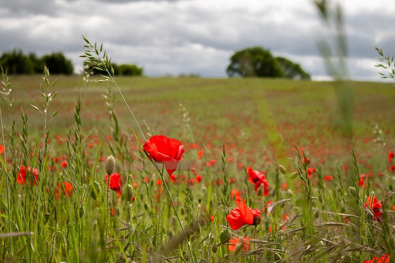 Poppies at Southill Solar farm